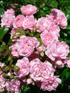 Pink_roses_in_the_bush_garden