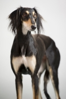 Funny and cute dog breed Persian greyhound Saluki posing